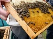 Wabe mit Bienen, Futter verdeckelt