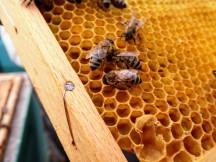 Bauende, fütternde Bienen