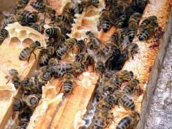 Bienen in Wabengasse